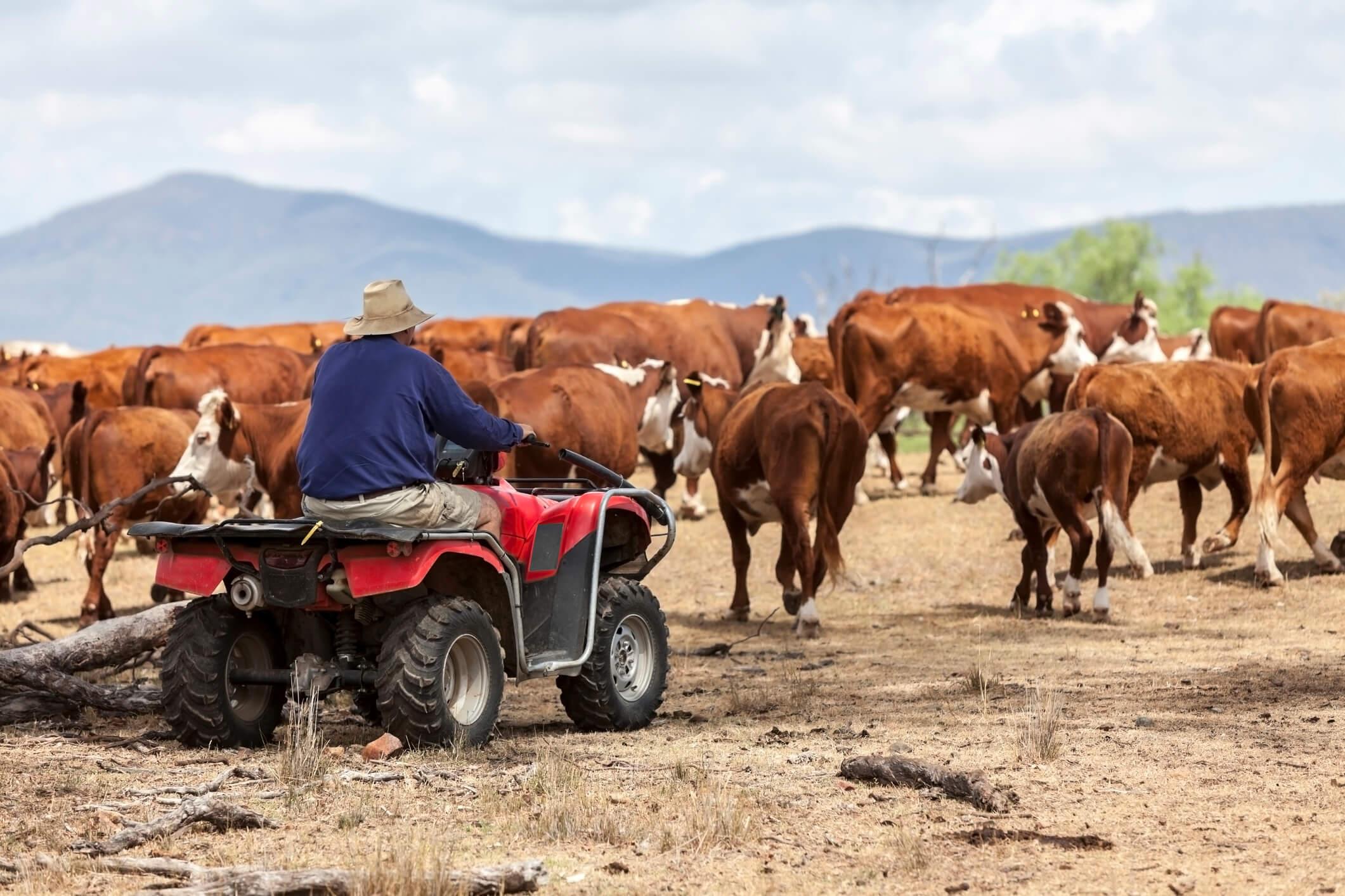 Současný honák dobytka v Austrálii už nezahání stádo do ohrady na koni, ale na čtyřkolce. Zdroj: iStockphoto