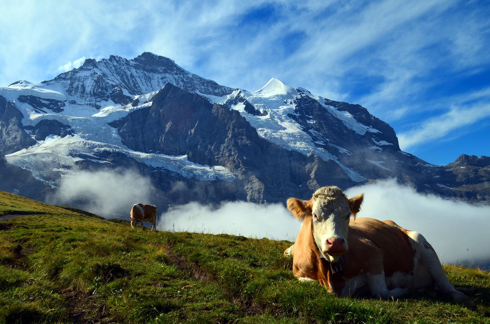 Švýcarsko má velmi přísné zákony vztahující k chovu hospodářských zvířat. Foto: Pixabay